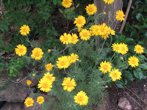 Picture of a Golden Marguerite