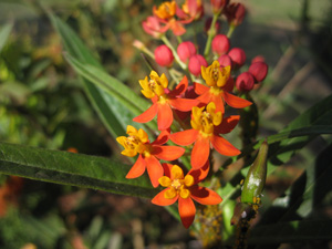 Picture of Scarlet Milkweed