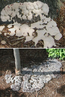 Pictures of slime mold