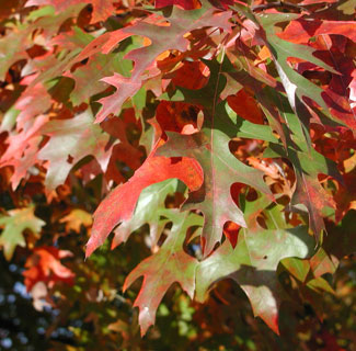 Picture of pin oak leaves in fall colors.