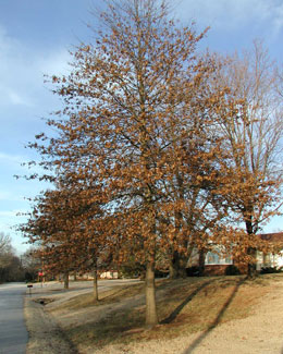 Picture of pin oak tree in the winter.
