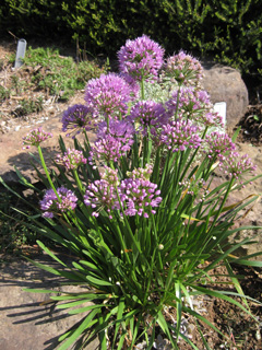 Picture of a flowering onion plant.