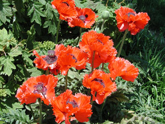 Picture of Oriental Poppy flowers