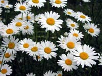 Picture of multiple oxeye daisy flowers, each with white petals and orange centes.