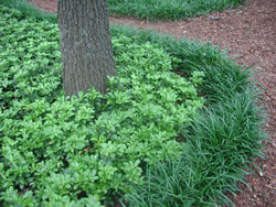 Picture of pachysandra.