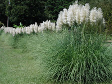 Picture of pampas grass