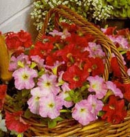 Picture of red and pink Petunias in woven basket.