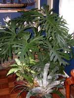 Picture of potted Tree Philodendron