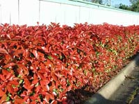 Picture of Redtipped Photinia hedge featuring red tipped leaves.