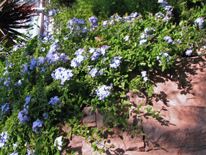 Picture of plumbago