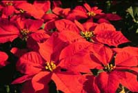Picture of multiple bright red Poinsettia bracts.