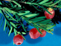 Picture of Yew Berries