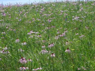 Picture of pale purple coneflowers at Harrison's Baker Prairie