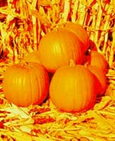 Picture of three Pumpkins among corn stalks.