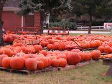 Picture of several pumpkins