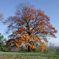 Picture of a red oak tree.