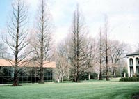Picture of several leafless Dawn Redwood trees showing straight vertical form.