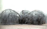 Picture of large River Birch tree weighted down with ice.