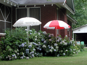 Picture of patio umbrellas shading hydrangeas.