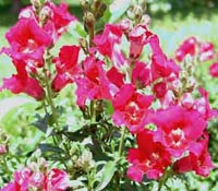 Picture of snapdragons, pink in color.