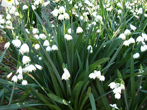 Picture of Summer Snowflake flowers.