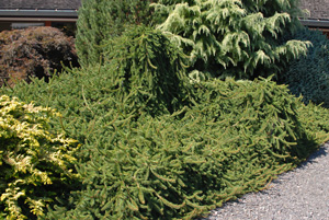Picture of Weeping Norway Spruce