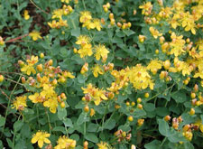 Picture of St. John's Wort