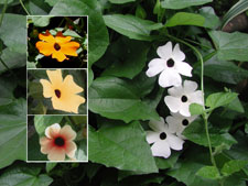 Picture of various colors of black-eyed susans