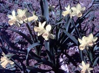 Picture of Tete a Tete Daffodil plants with yellow flowers.