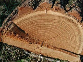 Picture of a cut tree trunk showing the tree rings.