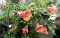 Picture of Variegated Flowering Maple with faded red flowers and variaged leaves.