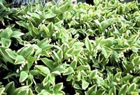 Picture of Variegated Solomon's Seal plants showing yellow-edged foliage.