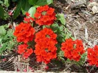 Picture of a verbena, brillant red blooms