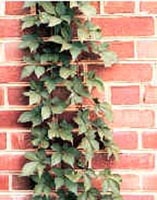 Picture of Virginia Creeper vine climbing red brick wall.