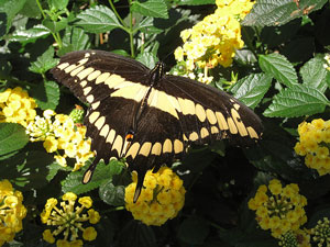 Picture of a swallowtail butterfly.