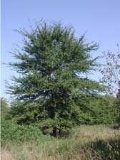 Picture of winged elm tree