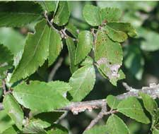 Picture of winged elm leaves