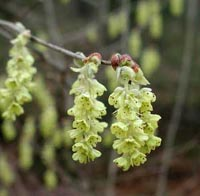 Picture closeup of pale greenish-yellow Winterhazel blooms showing three cascading hanging flower panicles.