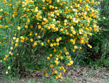 yellow rose bushes types Yellow Rose of TexasYellow Rose Bushes Types