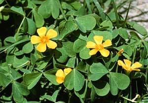 Picture closeup of Wood Sorrel yellow flowers and leaves.