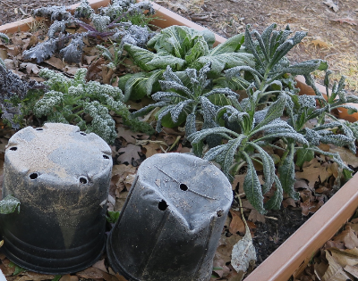 decorative kale and winter plants covered in frost