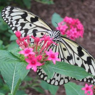 Photo of a black and white butterfly on pink penta
