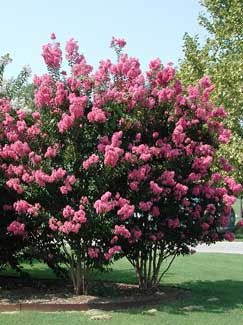 Picture of Near East Crape Myrtle Tree