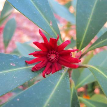 photo of an illicium bloom