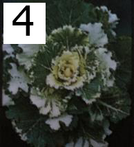 Osaka White Flowering Cabbage