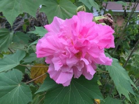 Confederate Rose picture