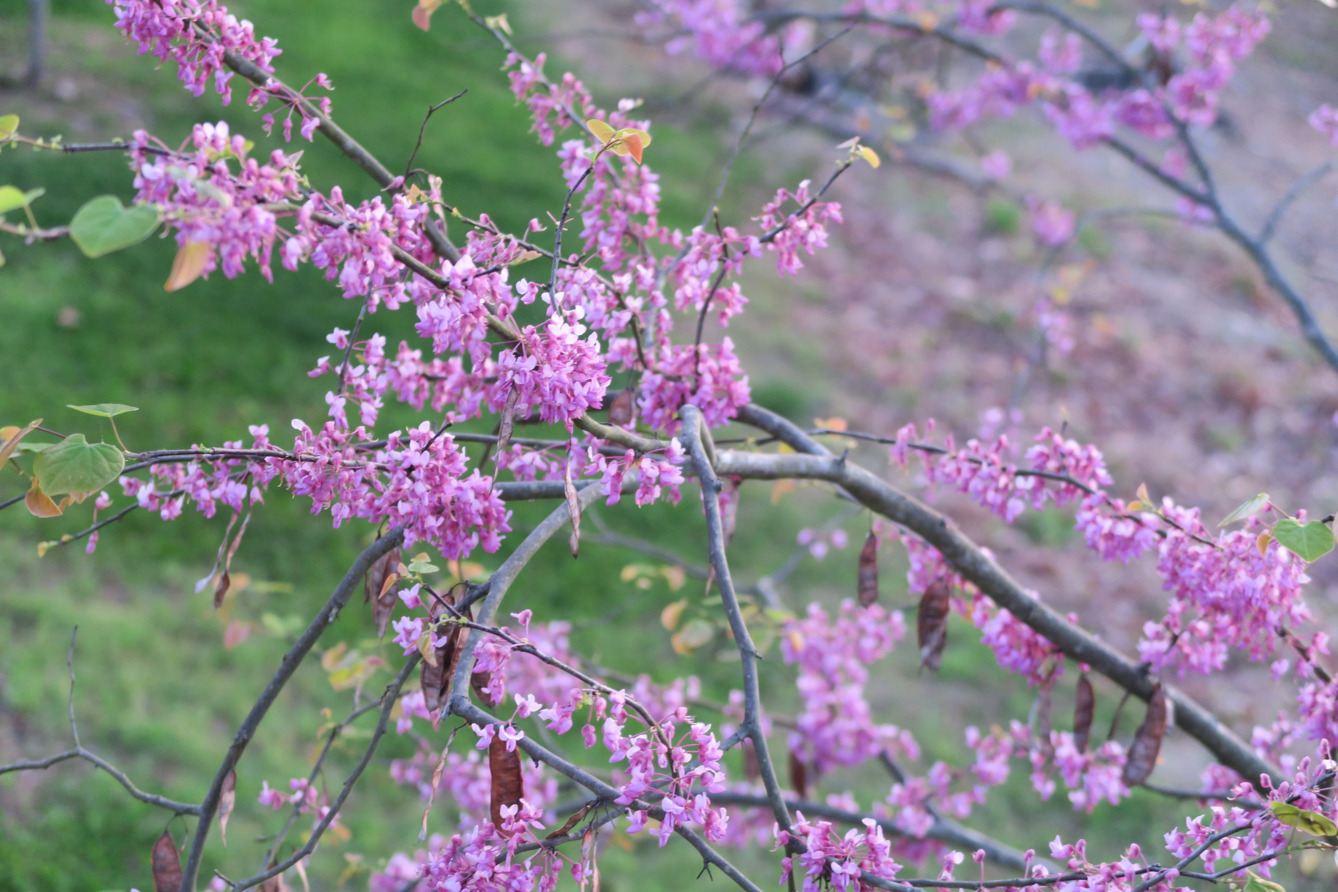 Picture of redbud tree