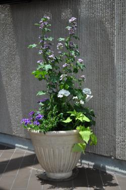 Image of a tall purple flowering plant with ivy draping down the sides