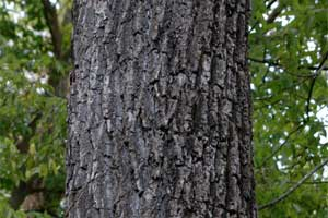 Picture of Black Walnut bark.