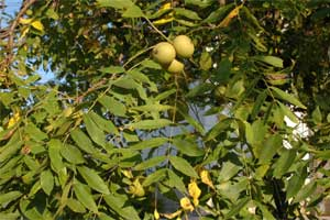 Picture of Black Walnut leaves and fruit